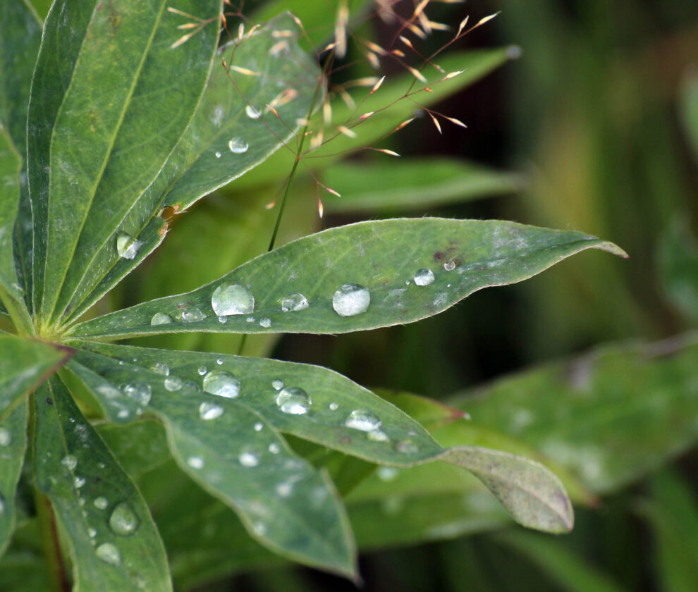 Lupin Leaf With Water Drops